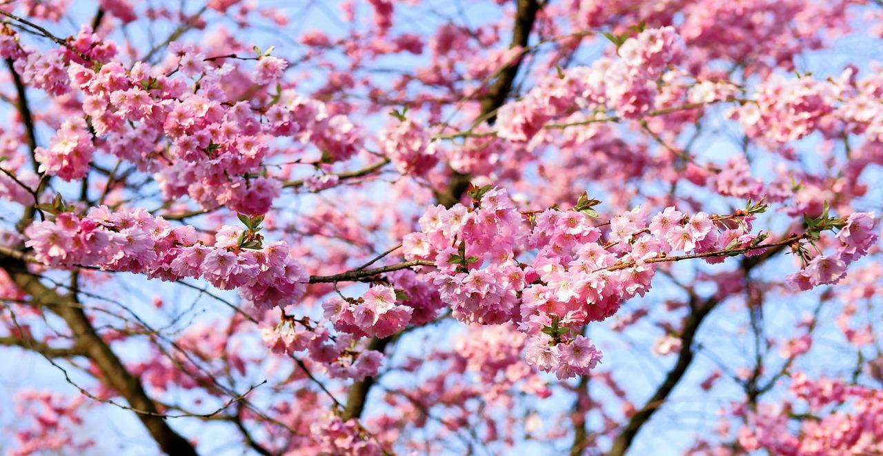 Comer bajo los cerezos en flor el blog de subaru el for Sakura albero